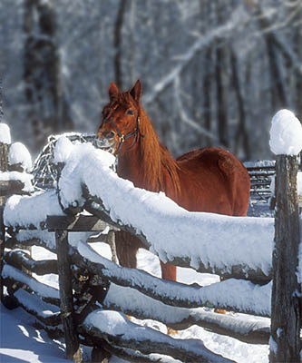 Horse eating snow that has accumulated on the top of a split rail fence. Location: NC, Swain County, Great Smoky Mountains Nat. Park, Newfound Gap Road, Pioneer Farm Museum at Oconaluftee Ranger Station. [ref. to #223.033]
