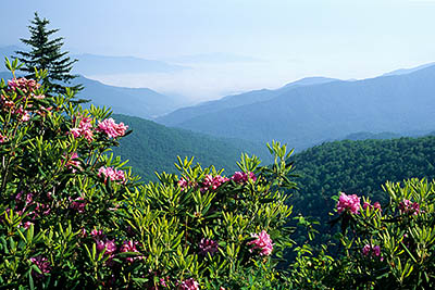 View from the Balsam Crest towards Middle Prong Wilderness in the Pisgah National Forest; rhododendrons. Location: NC, Haywood County, The Blue Ridge Parkway, The Balsam Mountains (South Section), Flat Gap, MP 435. [ref. to #227.263]
