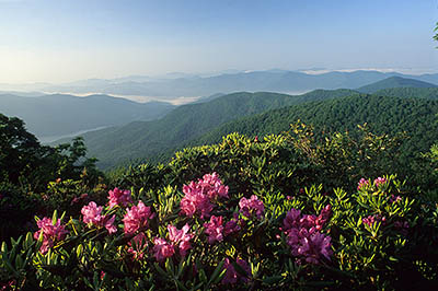 NC: Buncombe County, The Blue Ridge Parkway, Craggy Gardens Area, on Craggy Mtn, Visitors Center & Overlook (MP 365), View over Catawba rhododendron [rhododentron catawbiense] towards Asheville Watershed [Ask for #227.313.]