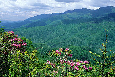 NC: Yancey County, The Blue Ridge Parkway, The Black Mountains Section, Mt. Mitchell Overlook (MP 350), Roadside view west over rhododendron flowers, towards Mt. Mitchell. Early summer. [Ask for #232.488.]