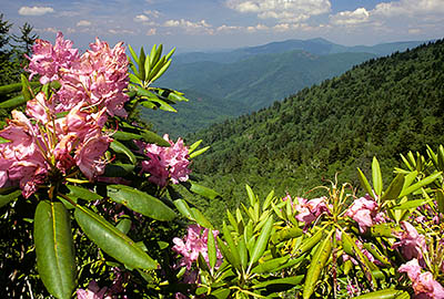 NC: Haywood County, The Blue Ridge Parkway, The Balsam Mountains (South Section), Reinhart Knob, MP 430, Roadside view over rhododendrons in spring bloom, towards the Middle Prong Wilderness. [Ask for #242.262.]