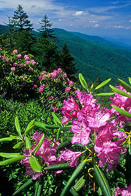 North Carolina: Central Mountains Region, Haywood County, The Blue Ridge Parkway, The Balsam Mountains (South Section), Reinhart Knob, MP 430, Roadside view over rhododendrons in spring bloom, towards the Middle Prong Wilderness. [Ask for #242.266.]