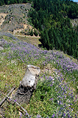 OR: Douglas County, Coast Range, Burnt Ridge, Coastal Divide, Wildflowers frame a clearcut view off the divide with paved Burnt Ridge Road in meadows below [Ask for #274.294.]