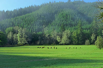 OR: South Coast Region, Coos County, Coast Range, Old Coos Bay Wagon Road, McKinley Community, Cows graze in the meadows. [Ask for #276.252.]